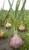 Gemüsezwiebeln (3)