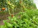 Tomate-Basilikum (1)