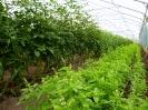 Tomate-Basilikum (2)