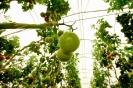 Tomaten (4)