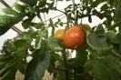 Tomaten (3)