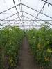 Tomaten (2)