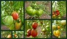 Tomaten (7)