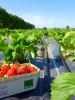 Erdbeeren ernten