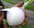 Gemüsezwiebeln